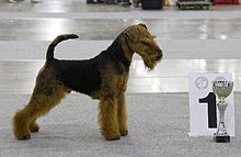Вельштерьер Кетчер Трайв Рамштайн - Welsh Terrier - Wikipedia, the free encyclopedia