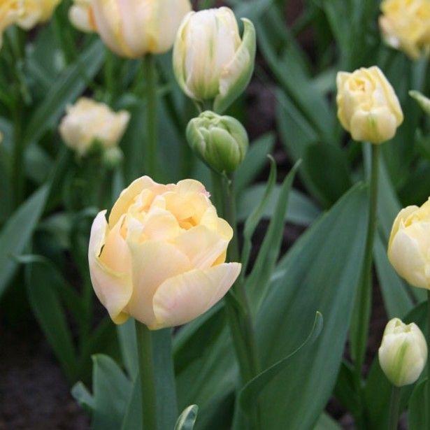 Tulipe double tardive Charming Lady – Bulbe – Des fleurs de pivoine orangées, r…