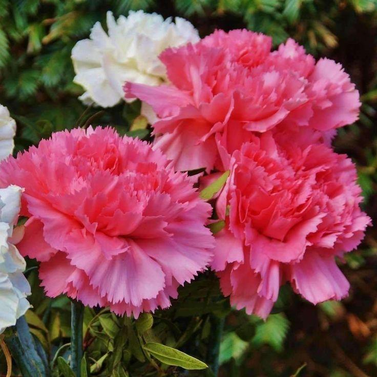 best 25 dianthus caryophyllus ideas on pinterest carnation carnations and pink carnations. Black Bedroom Furniture Sets. Home Design Ideas
