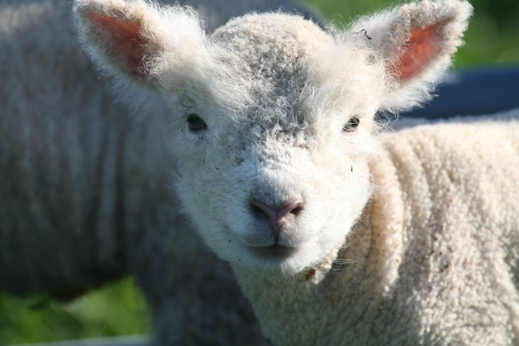 Babydoll Southdown sheep are tiny — and chock full of personality.