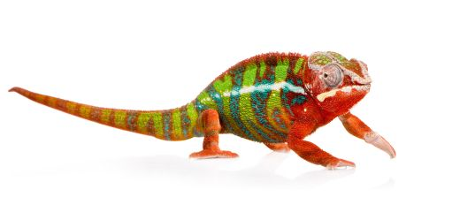 Panther chameleon ..... pretty