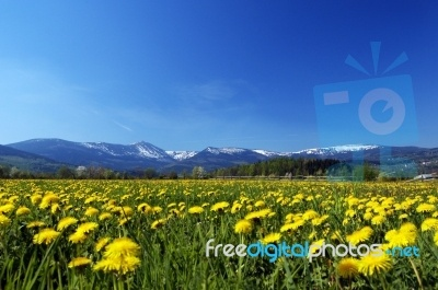 Alpine Meadow. Mountains in Poland with spring meadow full of flowers.