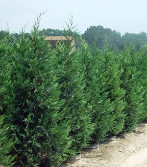 Murray Cypress for my natural screen.  Can't wait to get them in the ground!  Privacy Trees - Fast Growing Privacy Trees