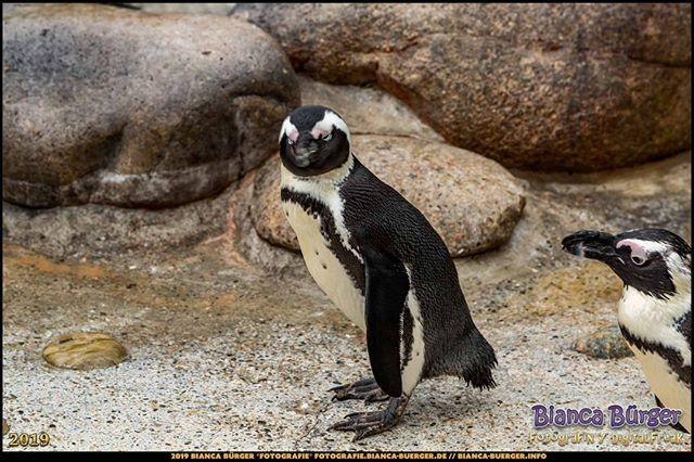 Pinguin Wilhelma Stuttgart Oktober 2019 Die Wilhelma Ist Ein Zoo Und Ein Botanischer Garten In Einem Pinguin Wilhe Instagram Posts Instagram Animals