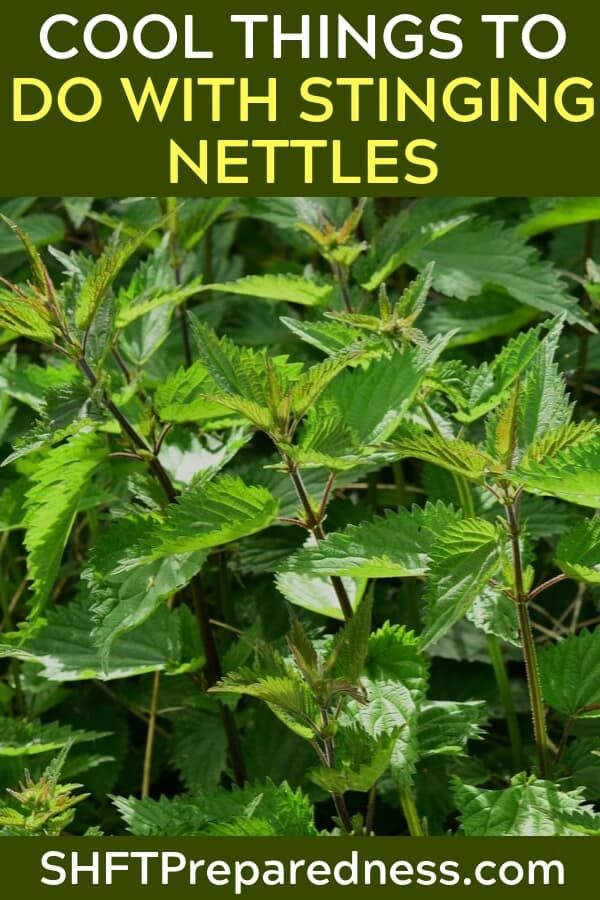 A Collection Of Cool Things To Do With Stinging Nettles Stinging Nettles Have Been Around From The Beginning O Pineapple Health Benefits Home Remedies Nettle
