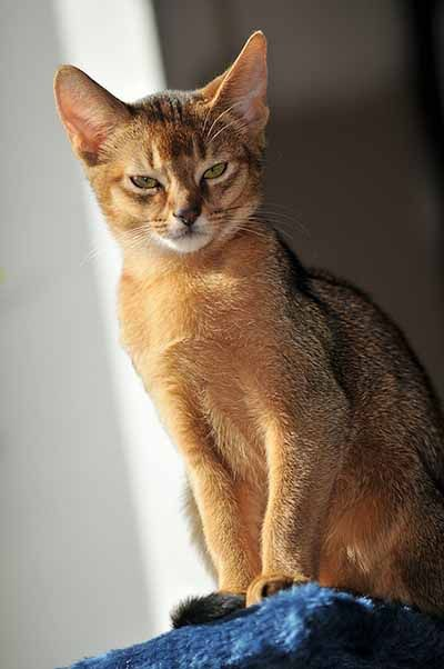O Abyssinians 1000+ images ab...