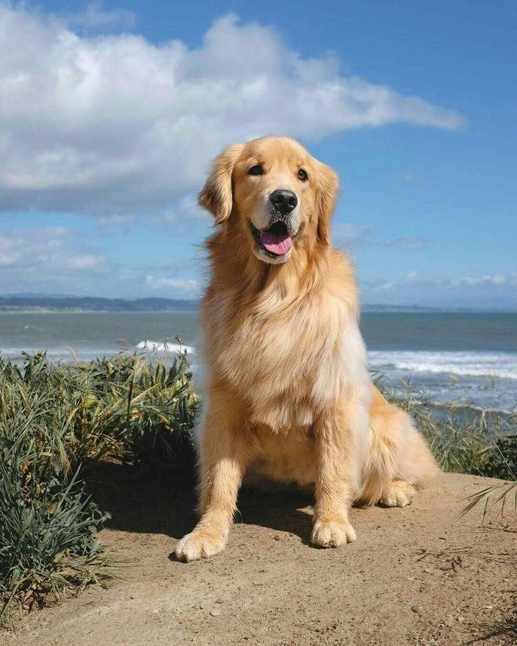 временем порода собак золотой ретривер картинки исполнитель прыгать сцены