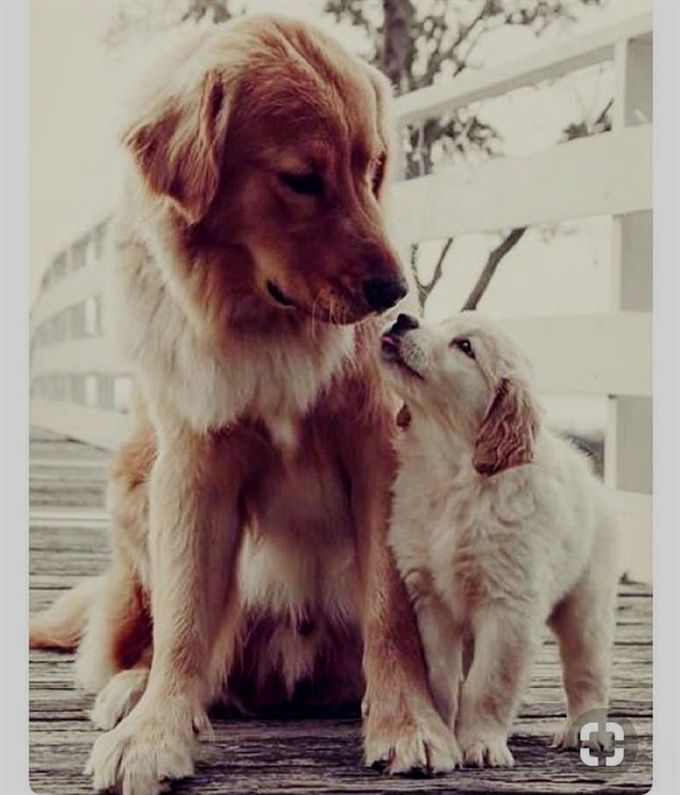 Cuddly Dogs Animal Dogs Golden Retriever Cute Puppies Cute