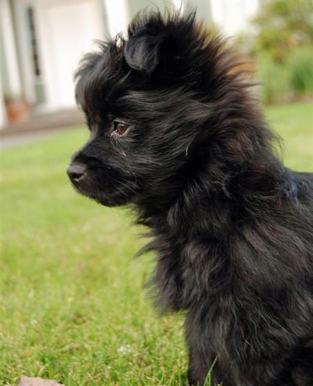 pomeranian pitbull mix best 25 terrier mix ideas on pinterest pitbull terrier 4304