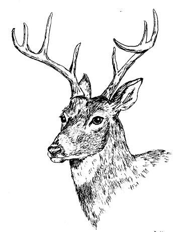 Deer ink drawing google search science illustration for Ink drawings easy