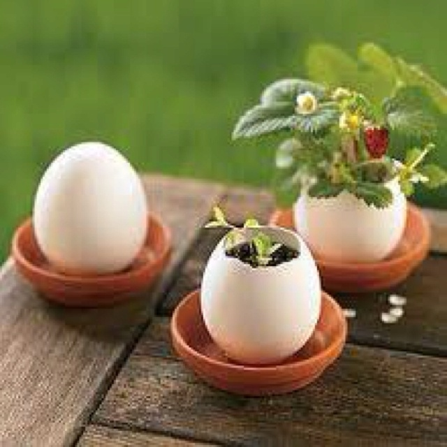 I've heard of starting seeds in egg shells and then planting them shell and all. . . Here it is!