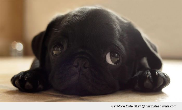 sulking pug puppy dog lying floor eyes cute animals wild wildlife species planet earth nature pics pictures photos images