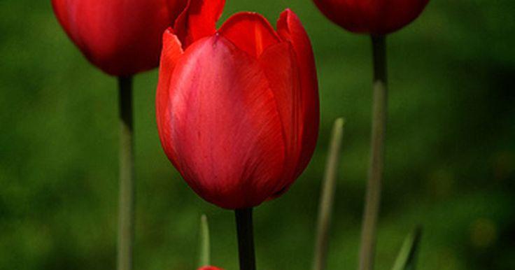 ¿Cuál es el significado de tulipanes rojos?. Los tulipanes son una de las flores más populares que están disponibles para comprar en la actualidad. Con una amplia variedad de colores y una forma simple, estas flores alegran el día de cualquiera. Los tulipanes rojos son uno de los tipos más populares de tulipanes, y además son excelentes para declarar el amor.
