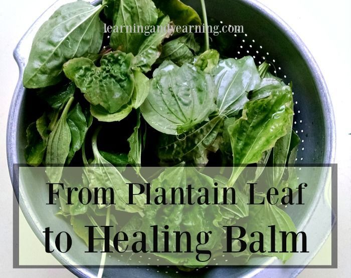 Learn to make a plantain leaf healing balm for insect bites, poison ivy, burns, cuts and more!