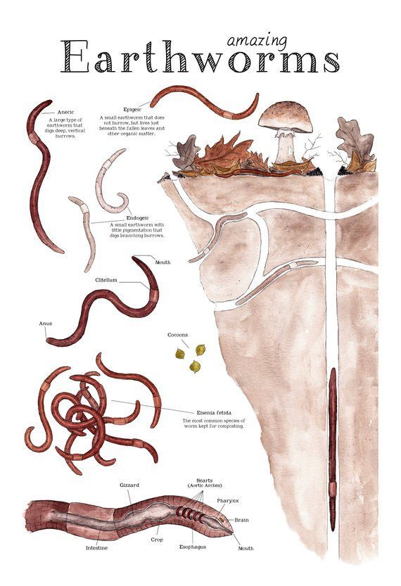 Amazing Earthworms 12 X 18 Poster Earthworm Anatomy Etsy Earthworms Worm Science Worms