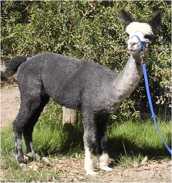 Best Alpacas Images On Pinterest Alpacas Alpaca Vs Llama And - 22 hilarious alpaca hairstyles
