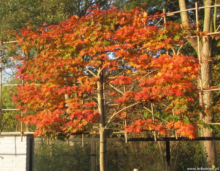 Acer palmatum leibomen krijgen een prachtige herfstverkleuring. Verder is het een leiboom die makkelijk is in onderhoud. Ook groeit deze leiboom niet hard waardoor deze goed geschikt is voor kleinere tuinen. Kijk ook eens op www.leibomen.nl