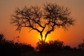 marula tree - Google Search