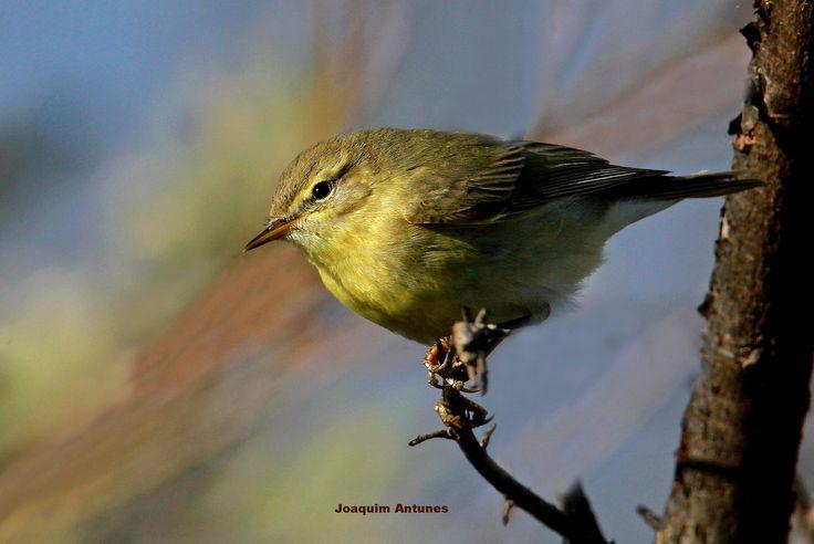Felosa-musical (Phylloscopus trochilus) | Flickr - Photo Sharing!