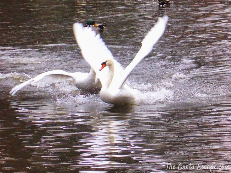Swans in Minnewater lake