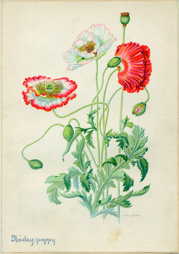 Shirley Poppies Vintage Illustration by Edith Johnston from A Book Of Garden Flowers.