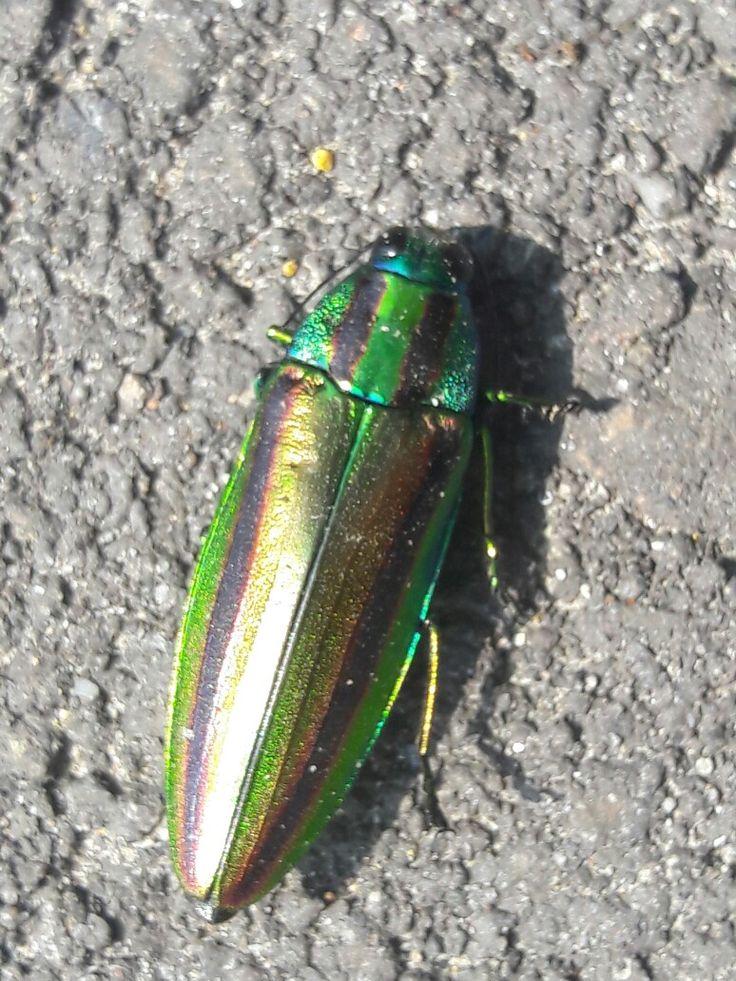 Eukaryota Animalia Arthropoda Hexapoda Coleoptera Buprestidae Chrysochroa C.fulgidissma found in Taichung (Dajia district) Taiwan May 14, 2017 jeweled wood boring beetle