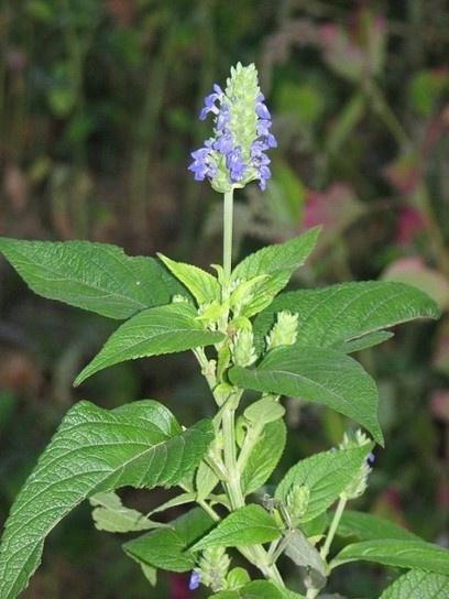 Plantas medicinales - etnobotánica-fitoterapia ...