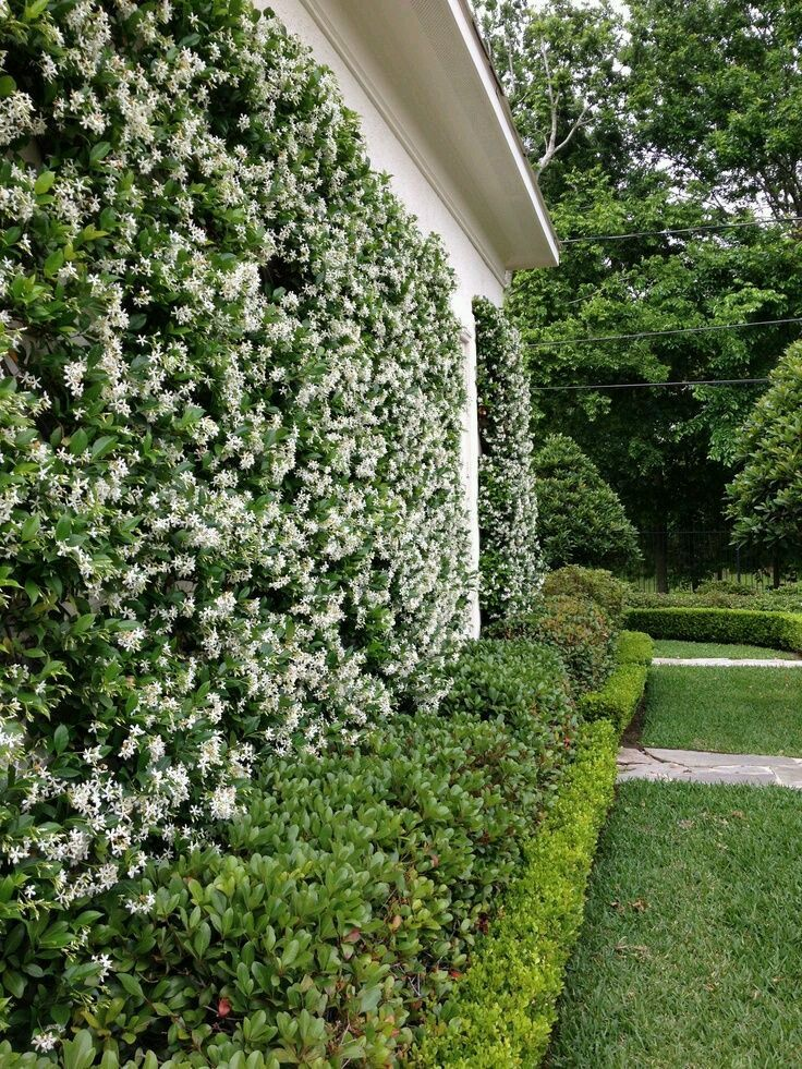 Here's Trachelospermum jasminoides clothing a wall without being trained into a diamond pattern. The great thing about this wonderful, evergreen, scented climber is how neat it is and how little it sticks out from its support.