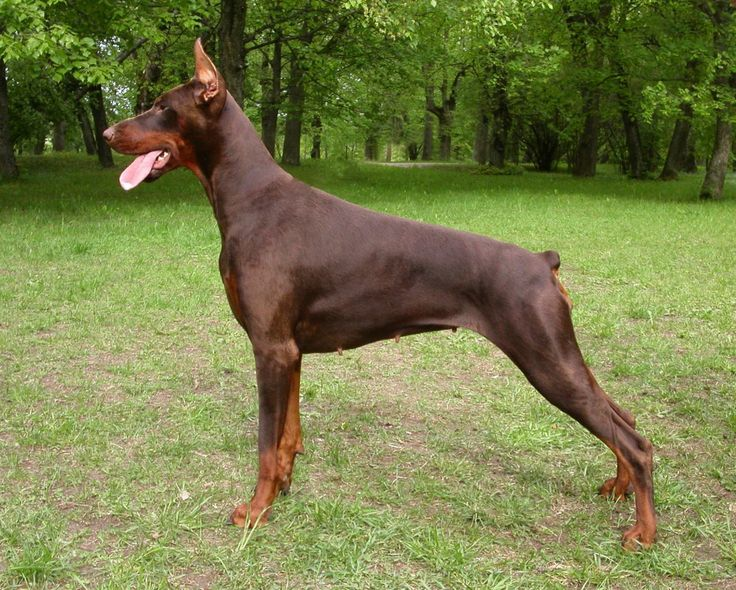 chocolate doberman pinscher female 10 month old | Epping, Essex ...                                                                                                                                                                                 More