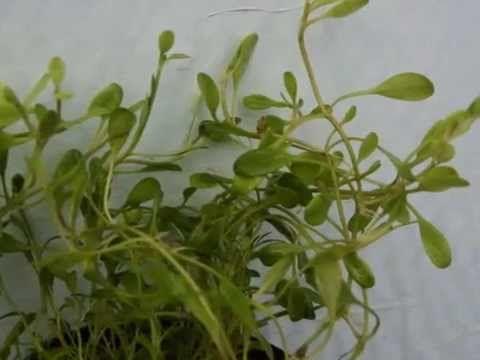 AQUARIUM PLANTS    GLOSSOSTIGMA ELANTINOIDES