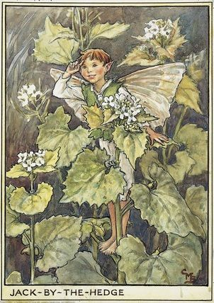 Illustration for the Jack-by-the-Hedge Fairy from Flower Fairies of the Wayside. A boy fairy stands amongst his plant with his right hand raised in salute.    Author / Illustrator  Cicely Mary Barker