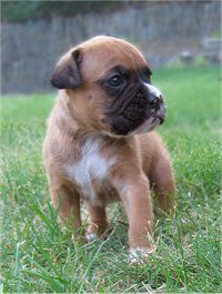 Boxer Puppy DogsBoxers Puppies, Boxers Baby, Puppies Dogs, Adorable Boxers, Boxers Obsession, Boxers Breeds, Boxer Puppies, Bare Remember, Adorable Animal