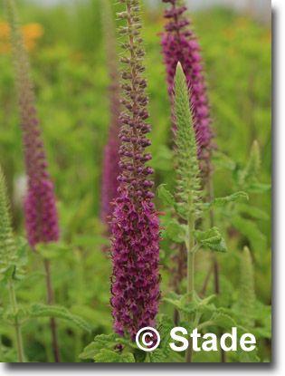 115 besten Trockenresistente Pflanzen Bilder auf Pinterest - gartenpflanzen