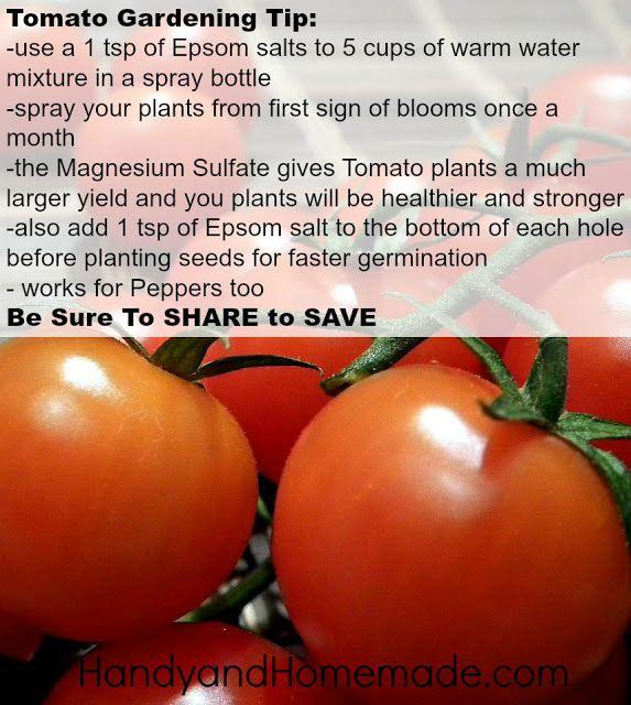 Tomato Gardening Tip High Yield Tomatoes Using Epsom Salt