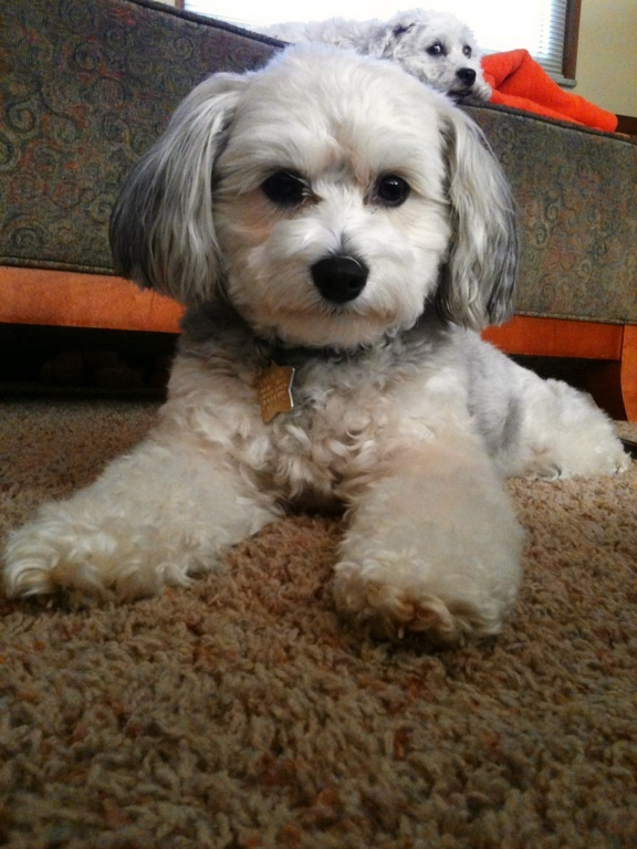 My sweet baby Izzy...a chinese crested powderpuff | cute ...