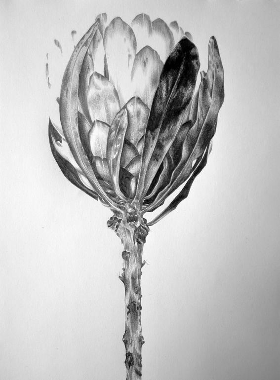 Protea Study III, Ira van der Merwe