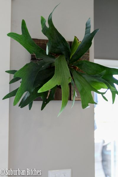 How To Mount A Staghorn Fern Ferns And Staghorn Fern