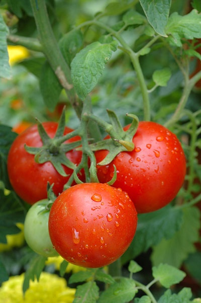 25+ Trending Patio Tomatoes Ideas On Pinterest | Tomato Garden, Greenhouse  Tomatoes And Vegetable Garden Tips