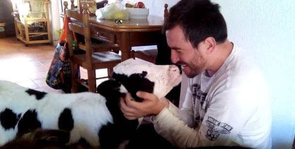 Baby Cow Saved From Slaughter Is So In Love With His New Dad