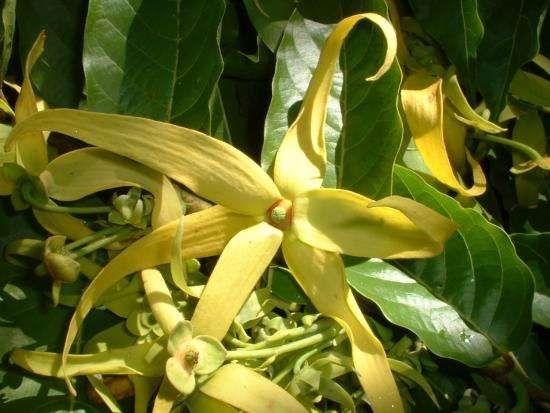 L'huile essentielle d'Ylang-Ylang est parfaite pour retrouver un bon équilibre mental. Elle aide à lutter contre les états dépressifs, les insomnies, le stress, les tensions et les spasmes grâce à ses effets relaxants et apaisants facilitant le sommeil.  Découvrez l'astuce ici : http://www.comment-economiser.fr/bienfaits-et-utilisations-huile-essentielle-ylang-ylang.html?utm_content=buffer2a3d9&utm_medium=social&utm_source=pinterest.com&utm_campaign=buffer
