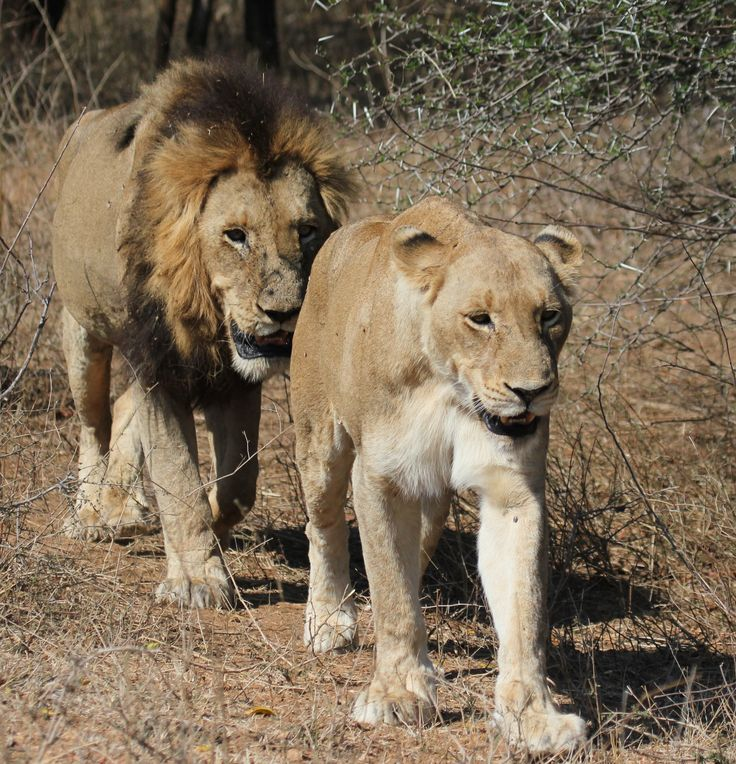 LIONS FOLLOW MY LEADER