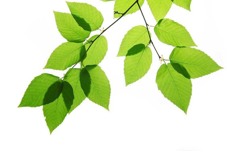 Gröna löv tapet | Fototapet | Löv | Grönt | Träd | Kvist