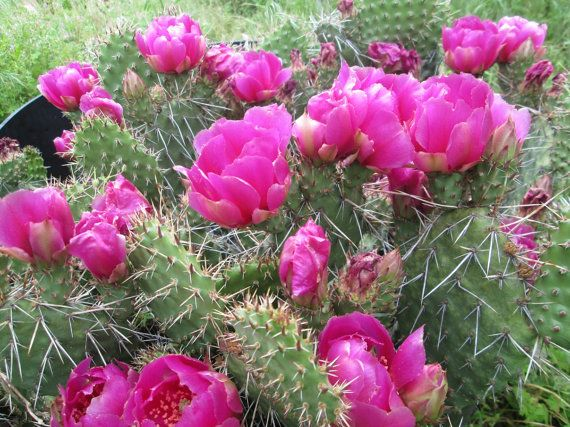 Opuntia Cold Hardy Prickly Pear Cactus Large Ruffled Red Magenta Flower/'s!!!