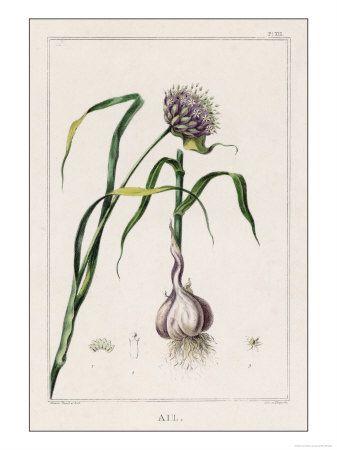 Tattoo inspiration. Garlic flower with bulb.