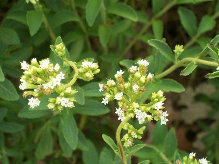 backen mit stevia stevia pflanze