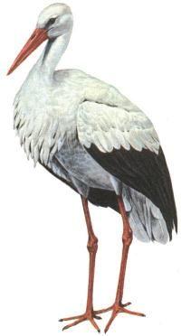 bocian biely (Ciconia ciconia)