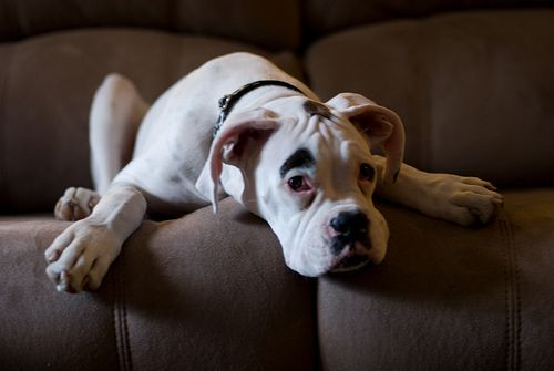 Loki #boxer #dog #eyebrow