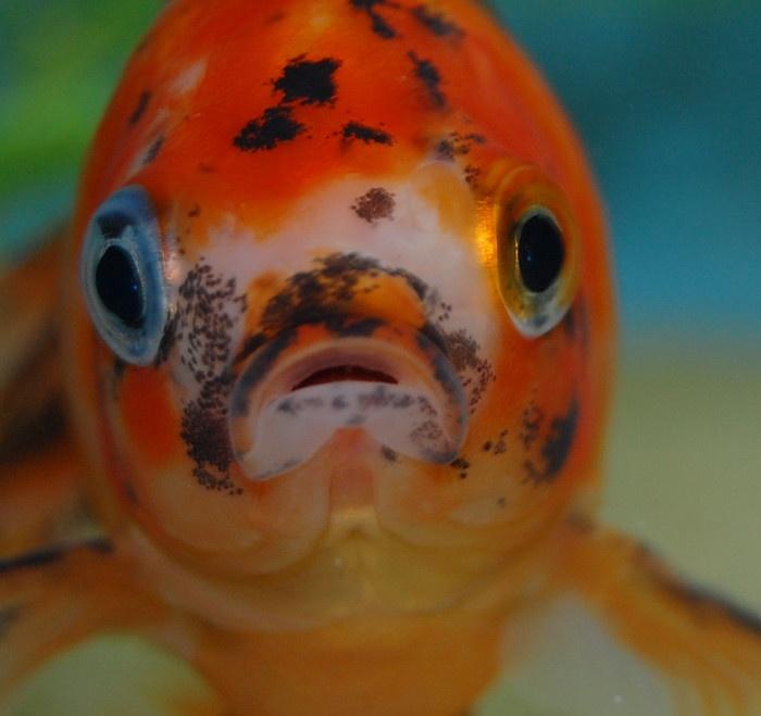 My calico fantail goldfish