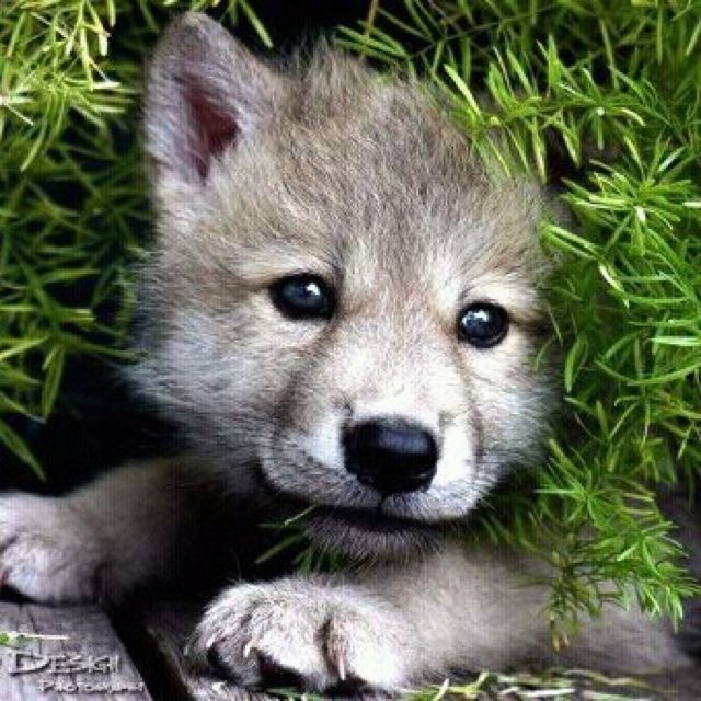 Awww So Cute. Wolf Pup