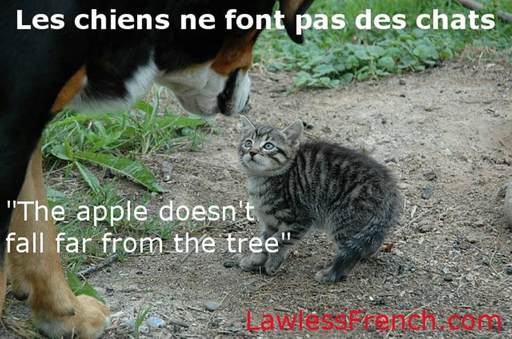 "Les chiens ne font pas des chats - ""The apple doesn't fall far from the tree""    https://www.lawlessfrench.com/expressions/les-chiens-ne-font-pas-des-chats/  #frenchexpression #learnfrench #fle #french"